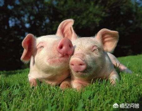 在农村养鸡,如何预估猪场的效益?圈养鸡为什么爱打架,请问怎么解决?