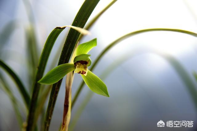 兰花分株换盆后可以喷磷酸二氢钾吗?