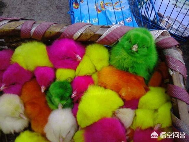 小鸡怎么养才能活下来 怎么养彩色小鸡能让它活得久一点呢?