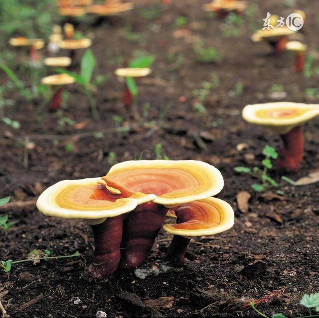 野生蘑菇能吃吗 山里挖的野生蘑菇能不能直接吃