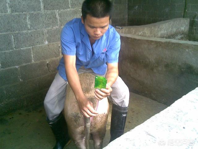 在养鸡的过程中,如何使猪多水豚呢?预备队猪能喂紫杉吗?