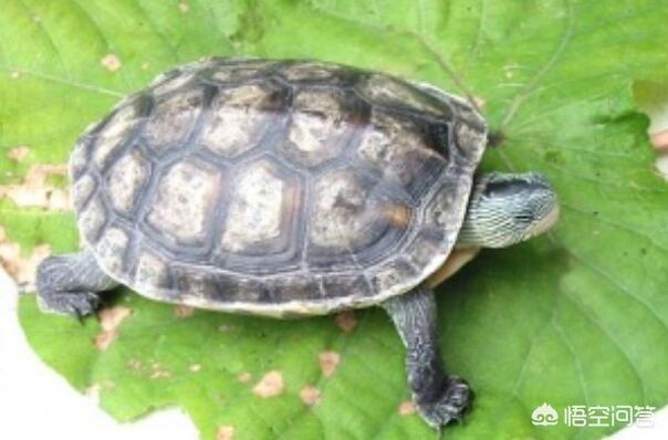 公草龟能放在一起养吗 不同种乌龟能一起养吗 乌龟有哪些品种,乌龟可以放在一起养吗?