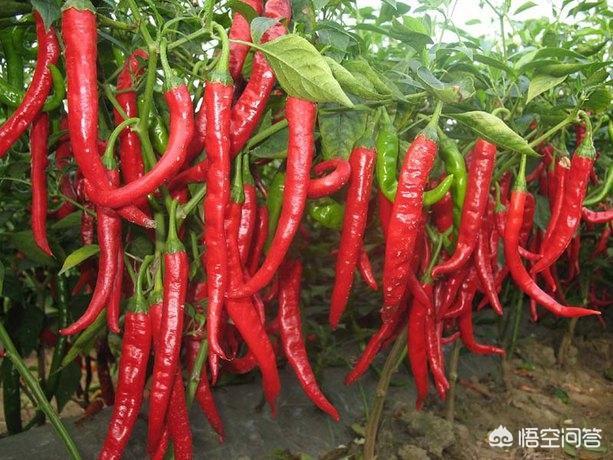 亩产5000斤以上朝天椒,羊角红一号,高产优质辣椒种子?