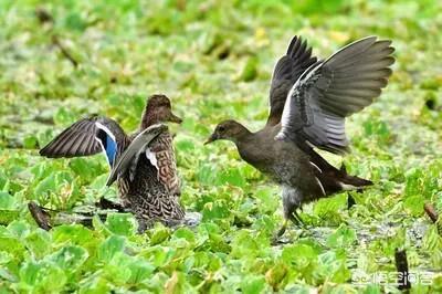 鸡跟鸭可以养殖在一起吗?(图3)