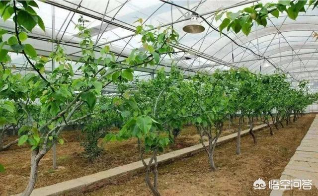 果树花期下雨时搭大棚有作用吗?