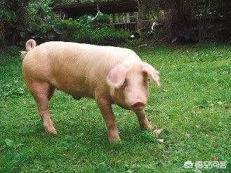 猪吃饭图片,猪不吃饭怎么啦?该怎么办?