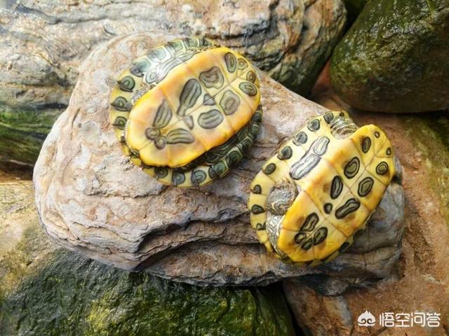乌龟能活多久?巴西龟能活多久?