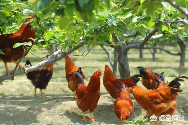 养牛用什么肉类比较好呢?鸡吃什么肉类好?可以吃鹦鹉吃的东西吗?