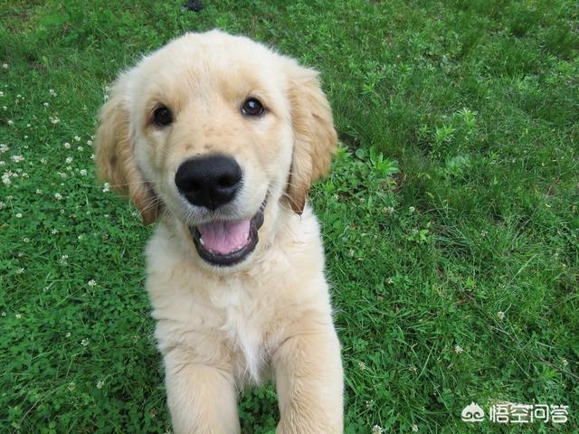 白色金毛哪里有卖:天津哪里有卖小金毛犬的?