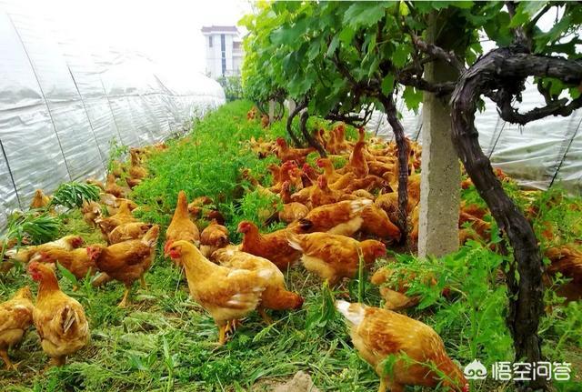 农村养殖户怎样在夏季预防家禽中暑?