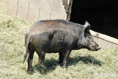 在农村山里边的野猪可以人工饲养吗?要怎么养