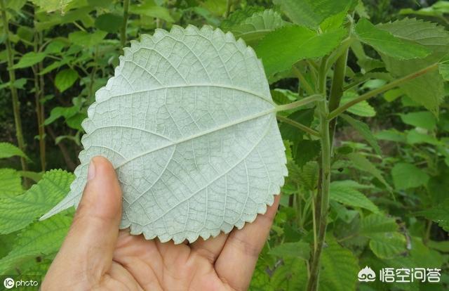 农村很多这种植物,你知道它的名称以及用途吗?