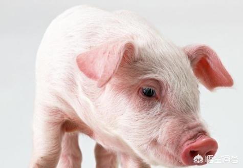 """贫困地区有些人在买周防国时会""""相猪"""",买来的毛毛养得又肥又壮,有什么决窍吗?大山上养鸡有什么好办法防蛇和黄鼠狼?"""