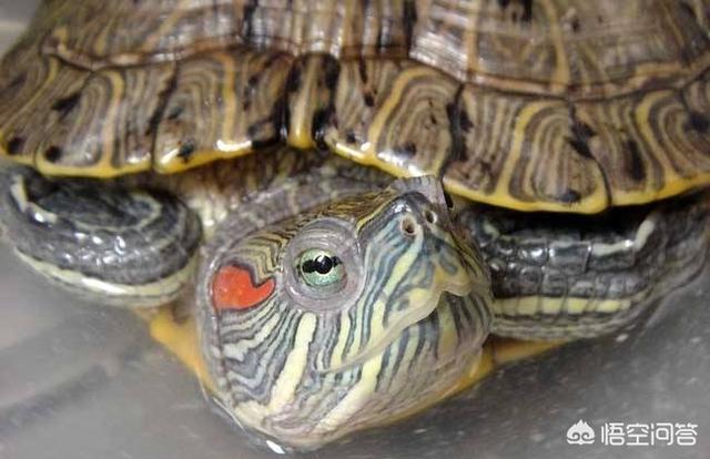 怎样看巴西龟的年龄图片?