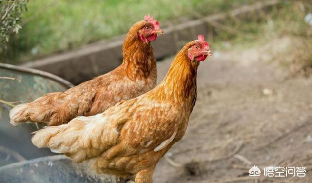 土鸡养殖常见哪些鸡病?如何防治鸡病?