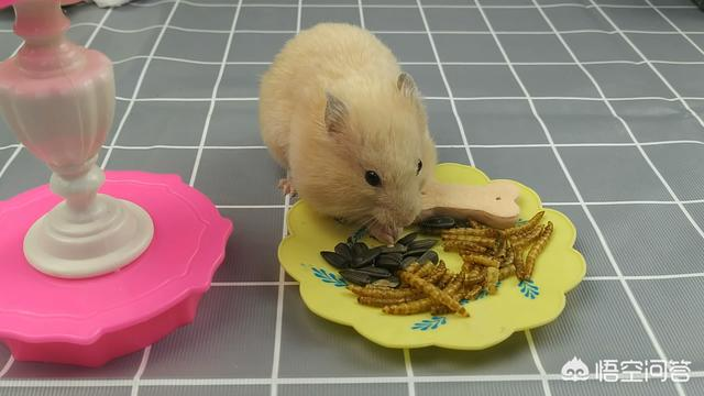 仓鼠饲养,仓鼠怎么养,养仓鼠的注意事项?