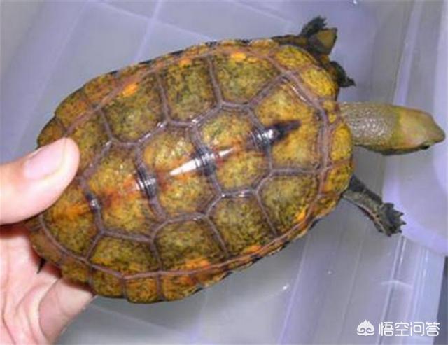 龟的品种价格排名是怎样的?