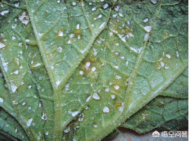 蔬菜病毒病怎么有效的防治?