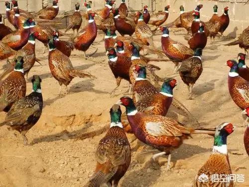 贫困地区创业者养殖甚么好?2021养鸡金融行业怎么样?