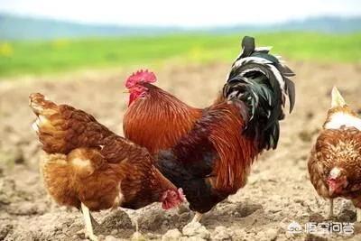 鸡跟鸭可以养殖在一起吗?(图1)