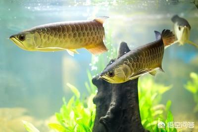 锦鲤图片求好运,家里养什么鱼作为观赏最好?