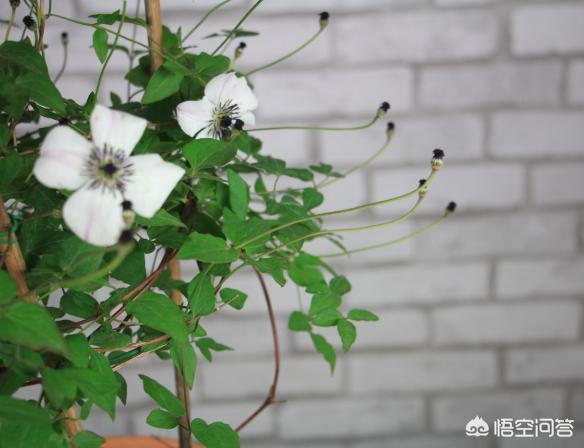铁线莲小苗什么时候移栽 铁线莲什么时候移栽比较好?