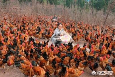 养鸡怎么养怎么预防疾病?