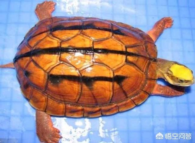 什么龟好养,十大最好养的乌龟都有什么?
