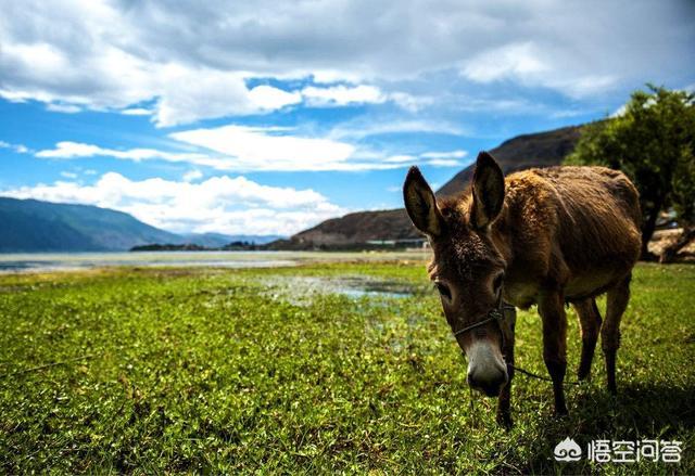 没人说一头驴福袋数十万,一张驴皮就值几百,可是在贫困地区却很少没人养驴,是真的吗?为何?猪的喂食方式