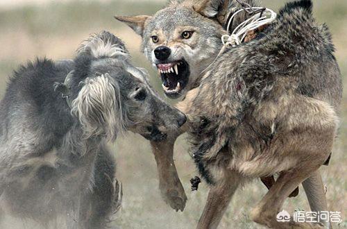 微信十大凶狼头像图片,天生怕狼的动物是什么动物?