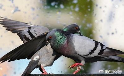 肉鸽养殖,常见鸽病有哪些,该如何防治?