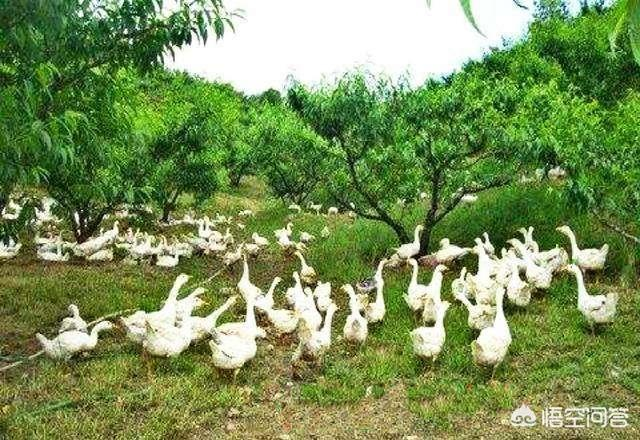 菜园里养殖业鹅可以吗,对茶树有没有影响,为什么?一亩田养殖业茶树和养鸡,需要注意什么?