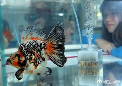 金鱼的饲养方法(金鱼怎么养才能活得长久)