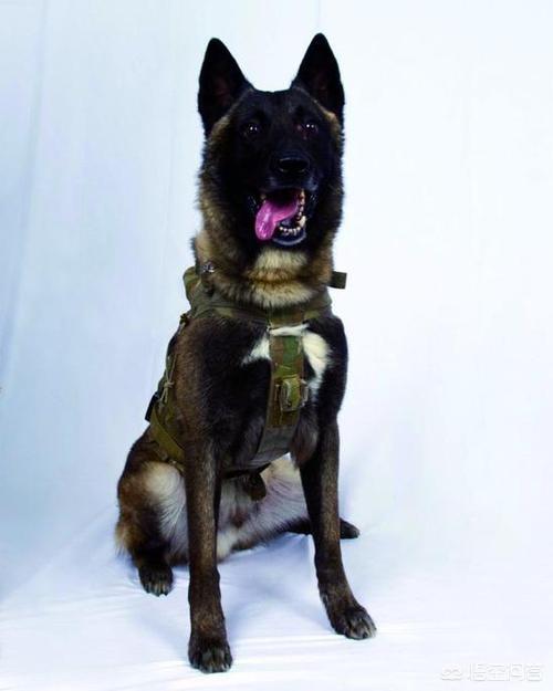 逼死巴格达迪还能生还,美军军犬为啥如此生猛