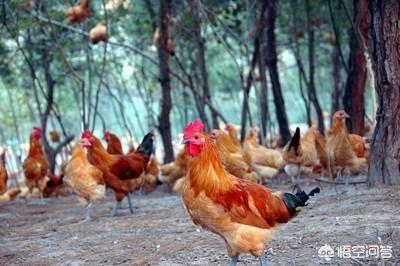 用甚么大荆镇最合适?养鸡技术并不复杂,但是有些人总是养不好猪,这是怎么回事?有哪些养鸡的技巧呢?(图3)