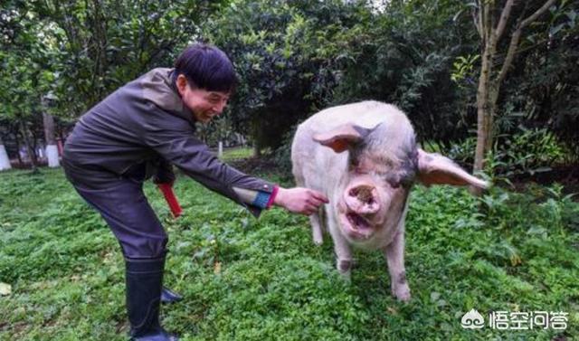 猪吃什么很胖快?泔水泔水拌成酒糟怎么发酵养羊养鸡养鸡好处多?