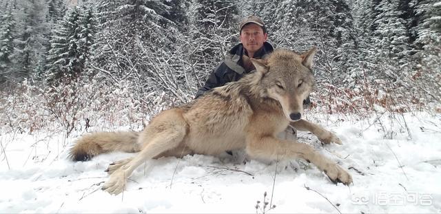 微信十大凶狼头像图片,哪位大神有狼的好看壁纸?