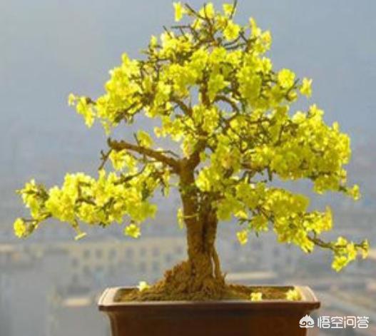迎春花图片盆景,迎春花盆景什么时候翻盆?