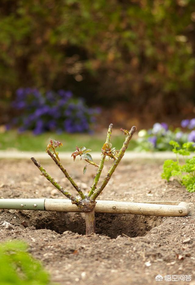 月季花春季养护应该注意什么?(月季花的花瓣像什么)