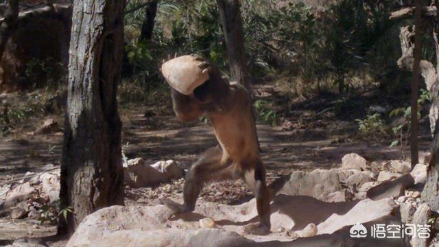 巴拿马猴已经进入石器时代,它们未来会威胁到人类吗?