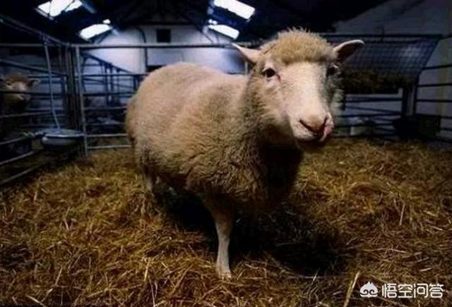 cloning,第一只克隆羊多利是怎么死的?