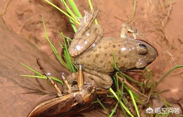逮谁吃谁的非洲牛蛙到底有多厉害?有没有害怕的天敌?