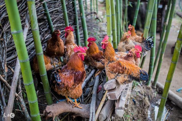 秋冬季节,禽疾病防治应注意哪些?