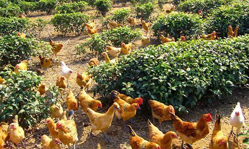 一亩田养殖业茶树和养牛,需要注意什么?泥鳅养殖业周期是多久?