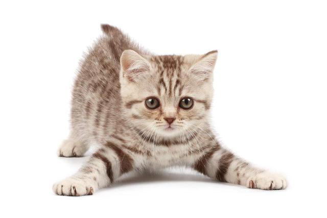 皇家猫粮怎么样?