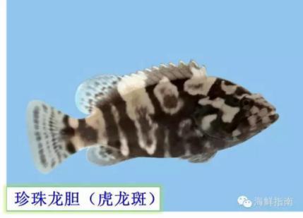 石斑鱼图片,市场上常见的石斑鱼品种有哪些?