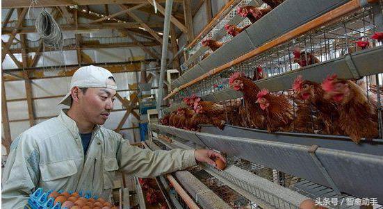 """养猪场的建筑工人呢难得病?市场空缺大,产品价位高,高档""""药鸡""""该如何饲养?"""