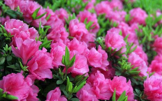 所有花的名字,小花仙里所有花的名字和花语?