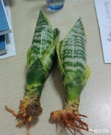 芦荟长出很多侧芽,需要分盆吗?(芦荟芽歪了还能长出来吗)