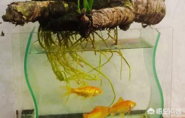 瓦缸里边养鱼,还能养什么水培植物呢?(水培植物怎么养)